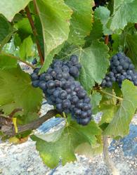 grapes that make award winning wine.