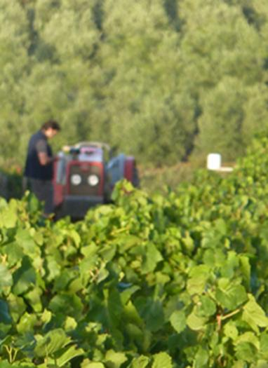 harvesting the grapes from the vineyards to make the wine